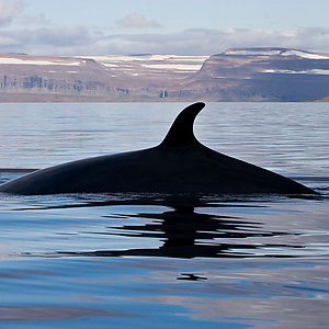 Whale watching in Westfjord Iceland