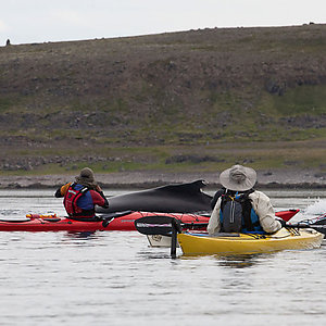 Sea Kayaking with whales in Iceland