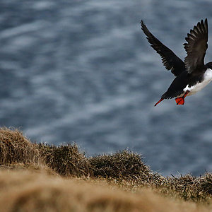 Puffin in Westfjords Iceland