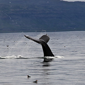 Whale Watching tour in Westfjords Iceland