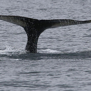 Whale Watching trip in Westfjords Iceland