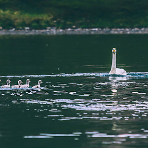 Swan family in Iceland