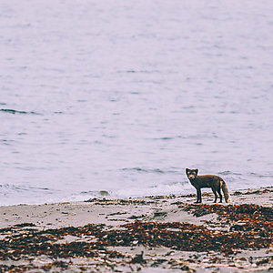 Fox watching and hiking in westfjords Iceland