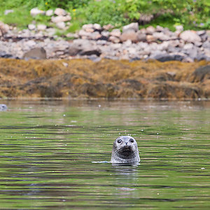 Seal watching while kayaking in Iceland