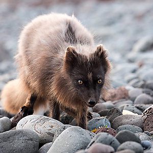 The Artic Fox in Westfjords Iceland
