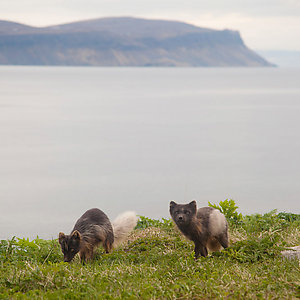 Arctic Foxes in Iceland