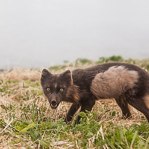 The Arctic Foxes