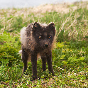 Fox watching tour in Westfjords Iceland