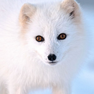 Icelandic Artic Fox