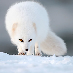 Icelandic Artic Fox watching trip