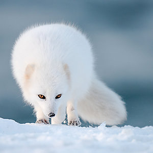 Arctic Fox Photography